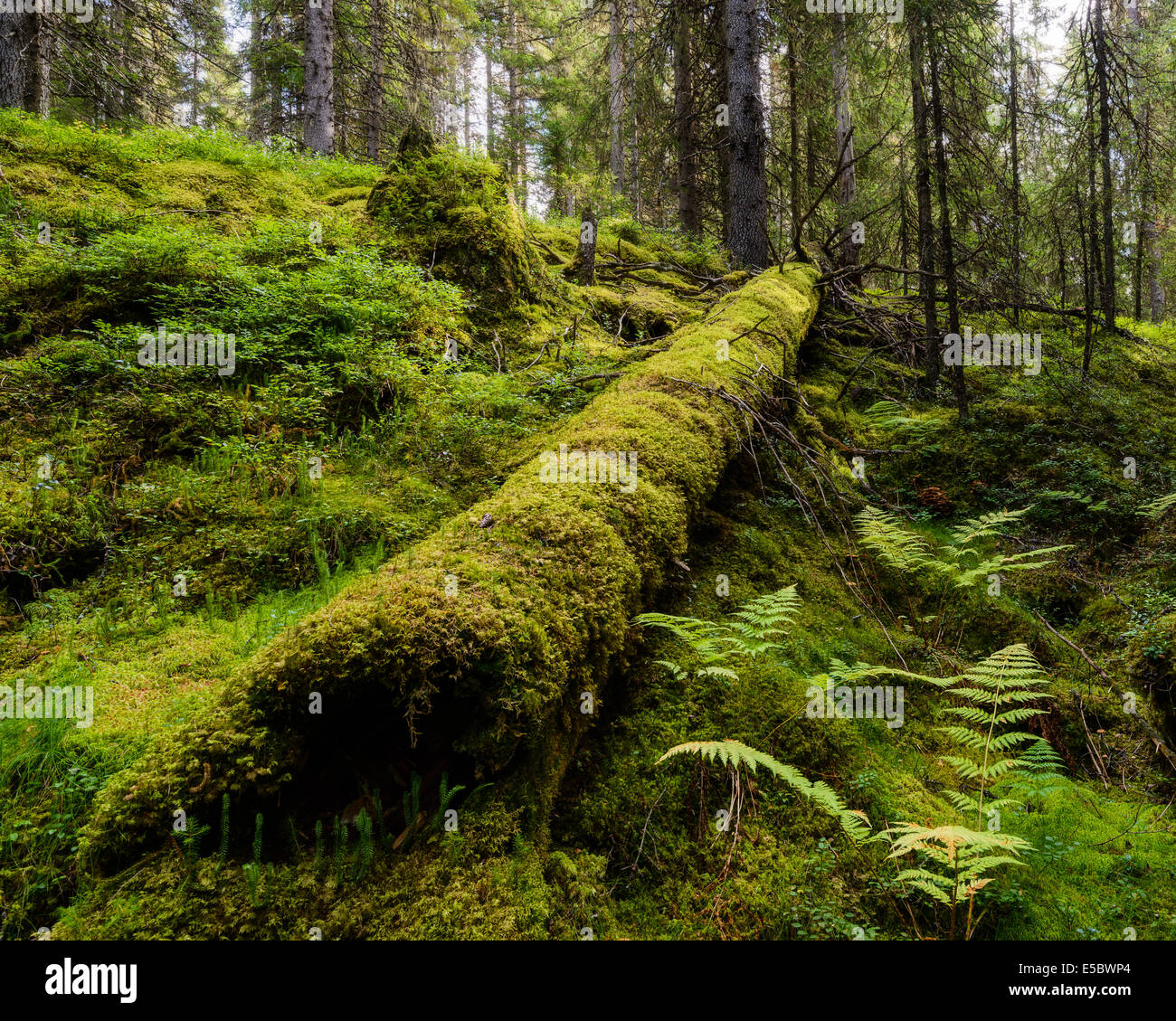 Fallen tree covered with moss in forest - Stock Image