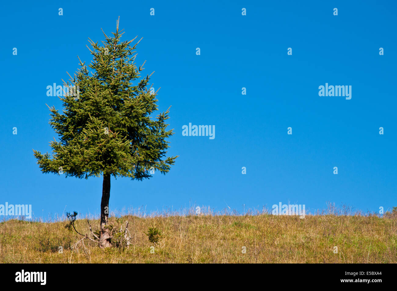 A single fir on a meadow and a unclouded blue sky - Stock Image
