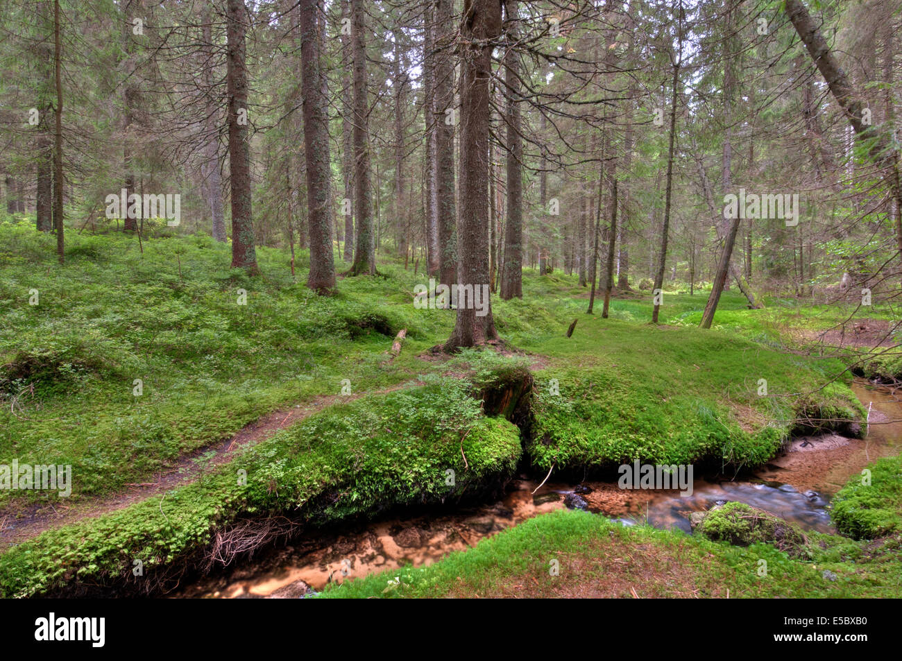 Conifers in a German forest - Stock Image