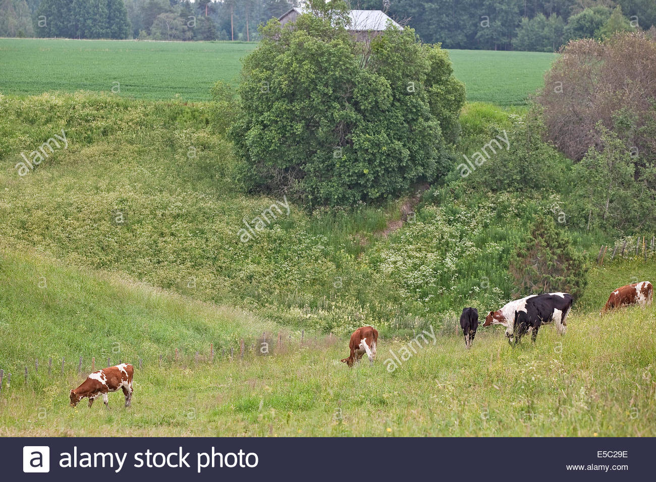 Cattle grazing - Stock Image