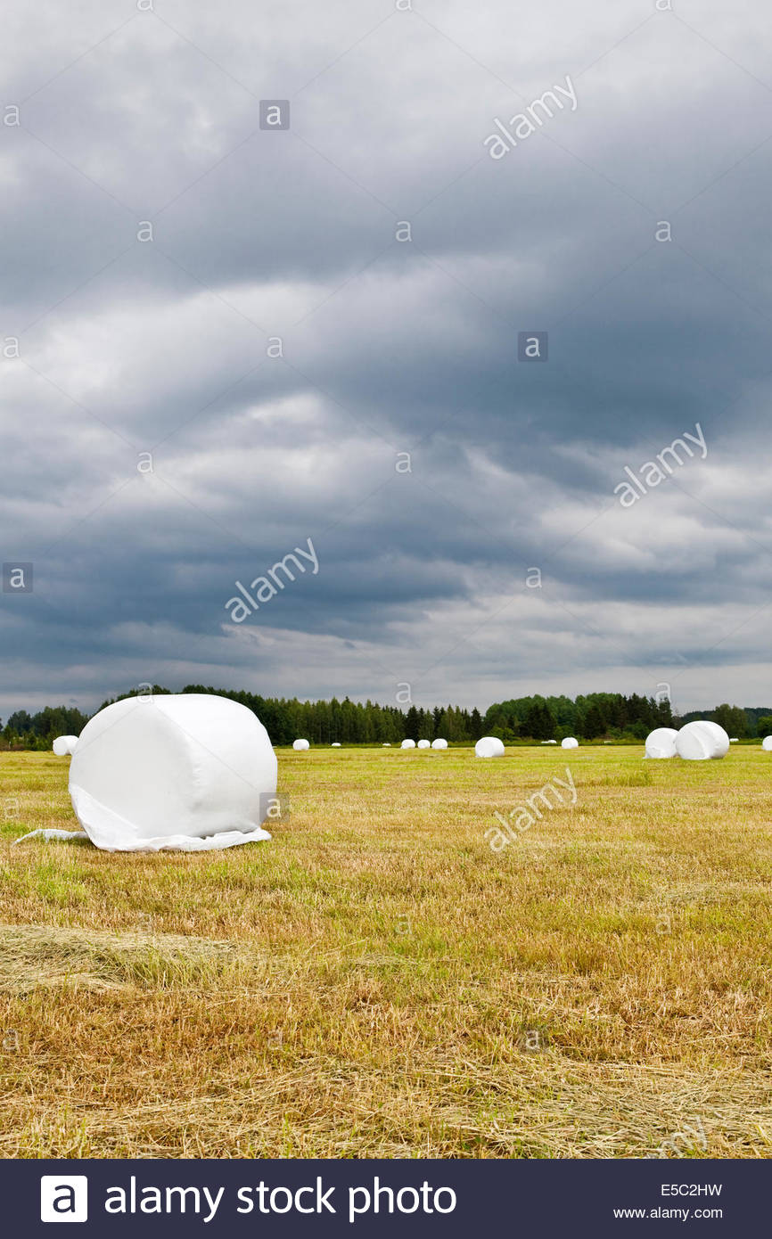 Feed for cattle to eat in winter is waiting on the field to be collected - Stock Image