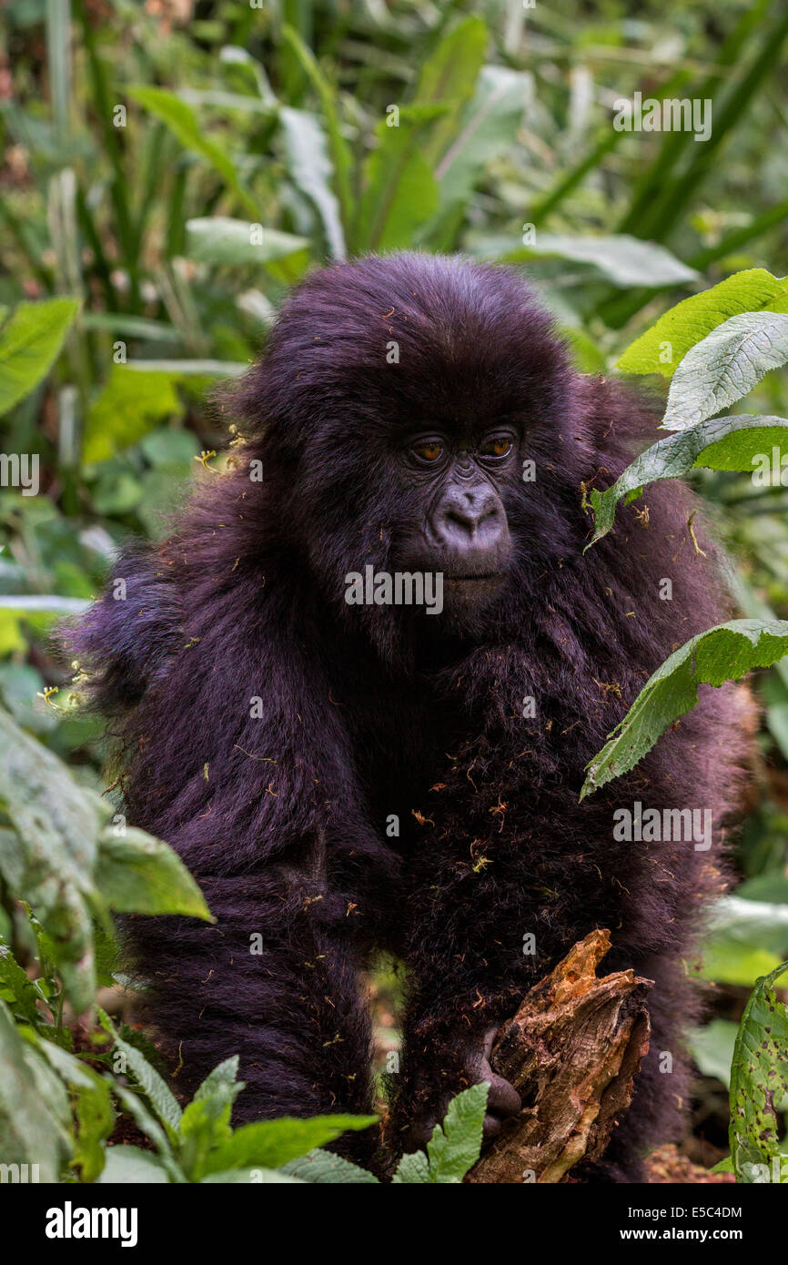 A portrait of a young mountain gorilla (Gorilla beringei beringei) in the Virunga Mountains Rwanda. Stock Photo