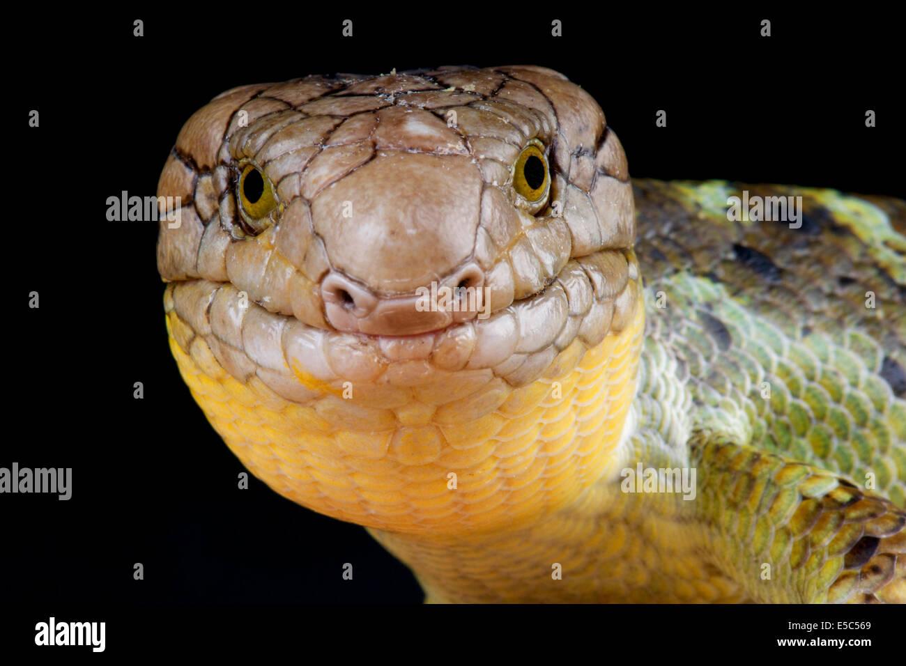 Giant monkey skink / Corucia zebrata - Stock Image