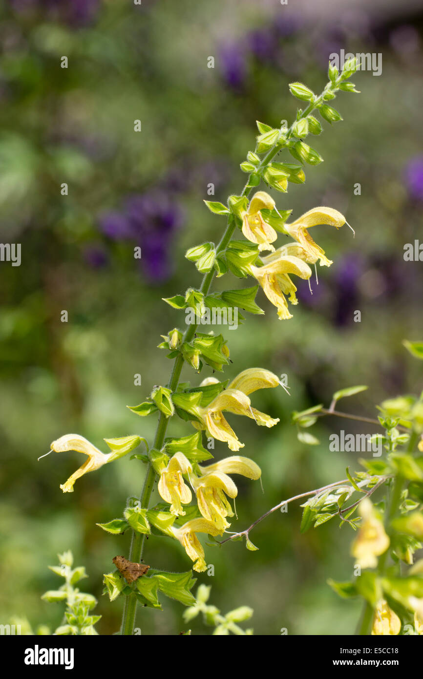Flowers of the sticky sage, Salvia glutinosa - Stock Image