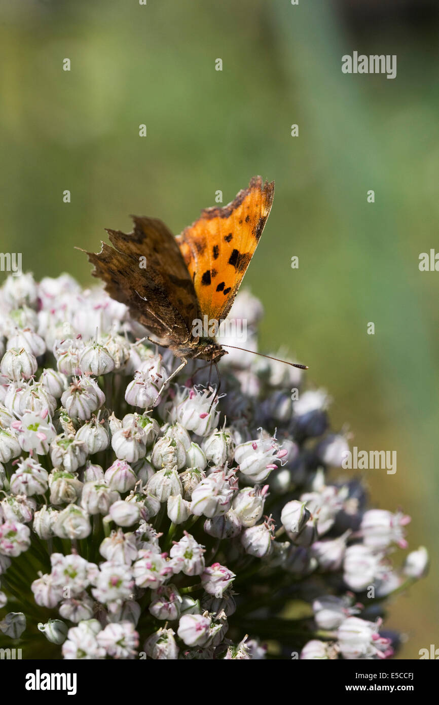 Polygonia c-album. Comma butterfly on an allium flowerhead. - Stock Image