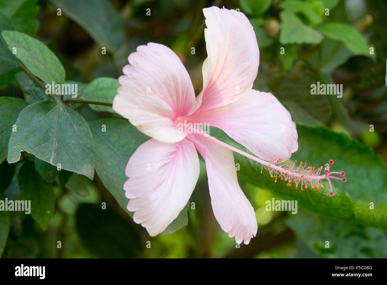 India Hibiscus Flower Stock Photos India Hibiscus Flower Stock
