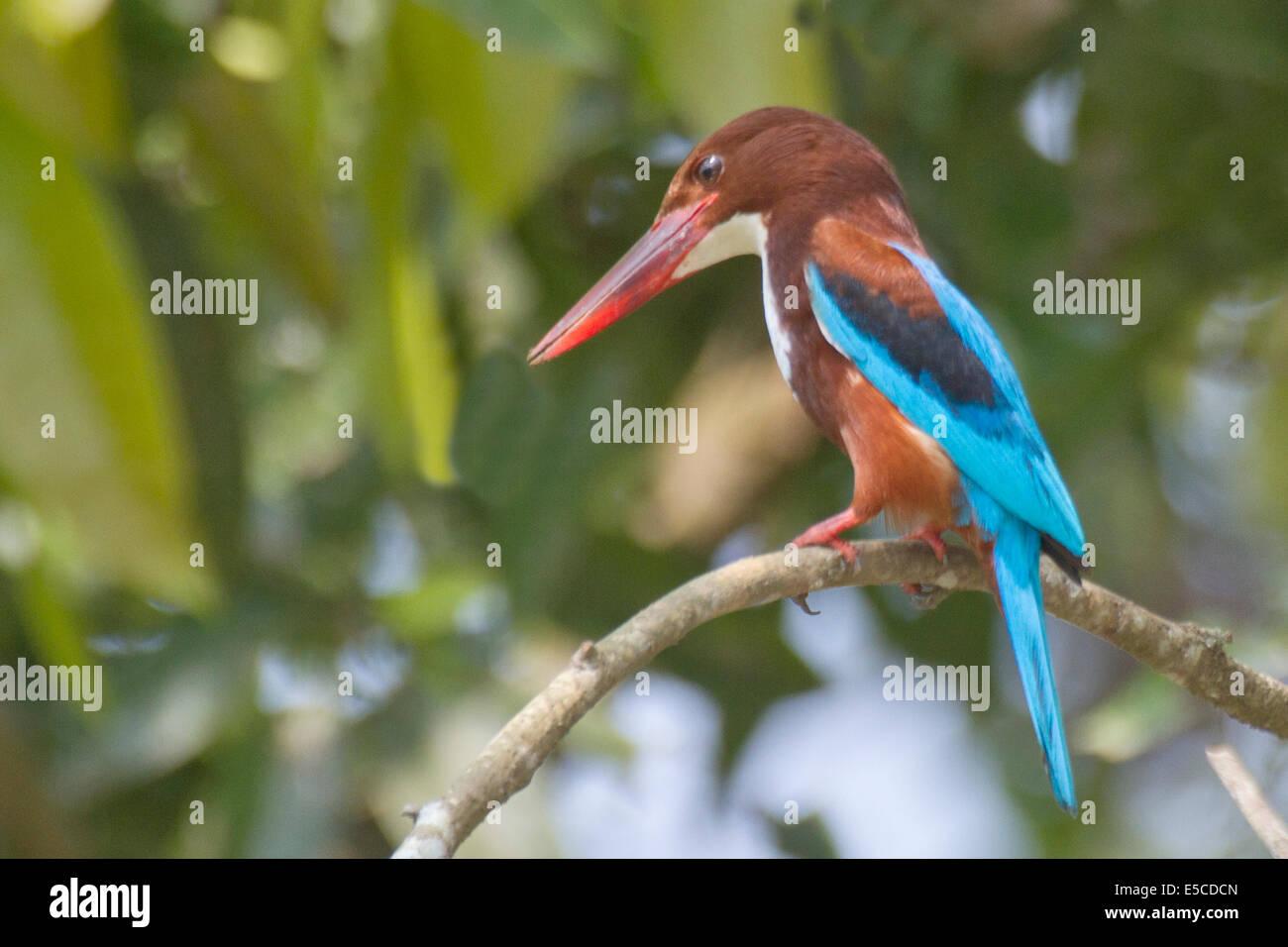 WhiteThroated Kingfisher.(Halcyon smyrnensis).Kerala Backwaters,India - Stock Image