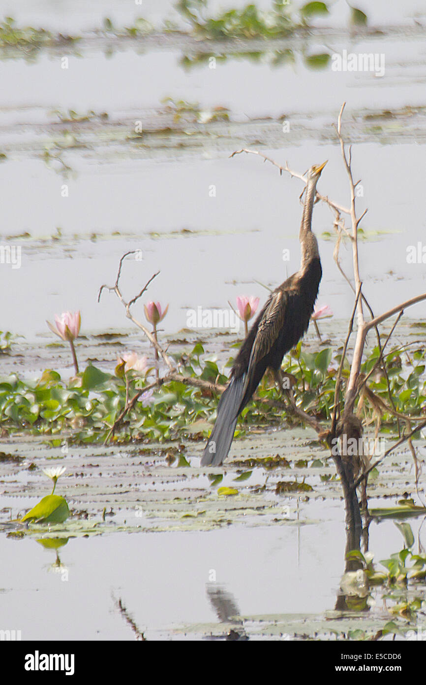 Darter also called Snake Bird on dead tree with Water Lilys.(Anhinga melanogaster).Kerala Backwaters,India - Stock Image