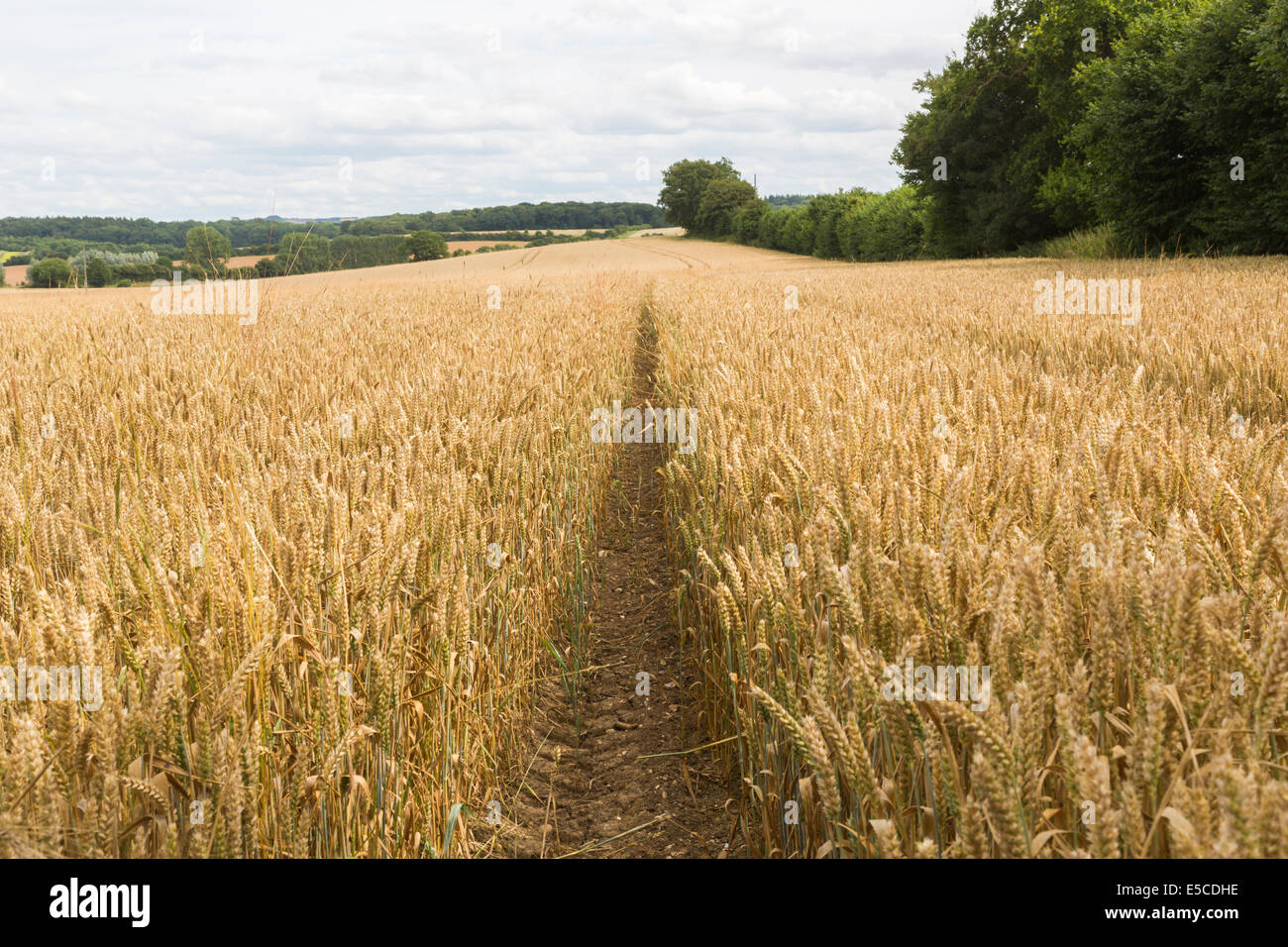 Tractor tracks in a field of golden, ripe wheat in summer awaiting harvest on a farm at Great Bedwyn, Wiltshire - Stock Image