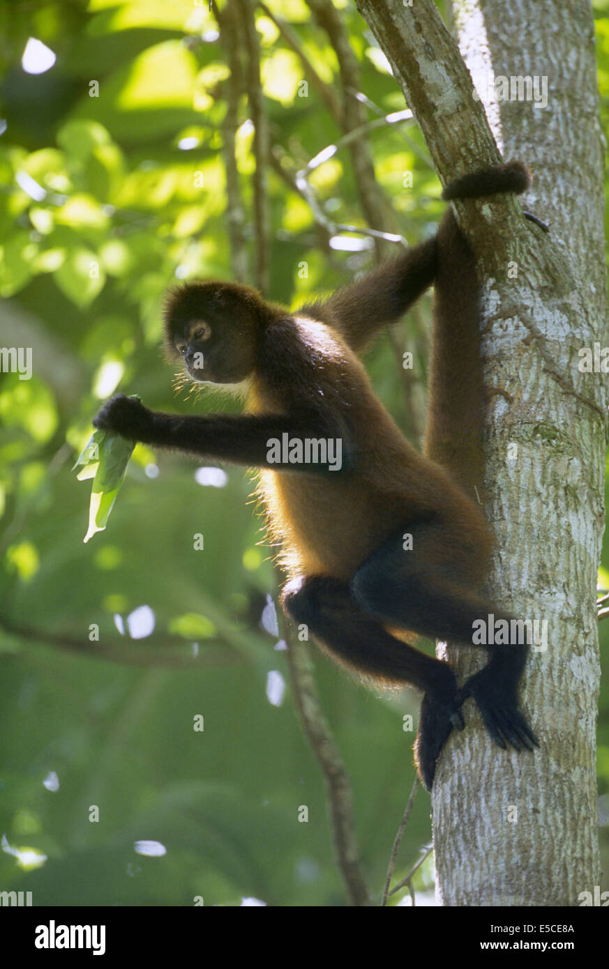 Geoffroy's Spider Monkey eating leaves (Ateles geoffroyi).Corcovado National Park Costa Rica Stock Photo