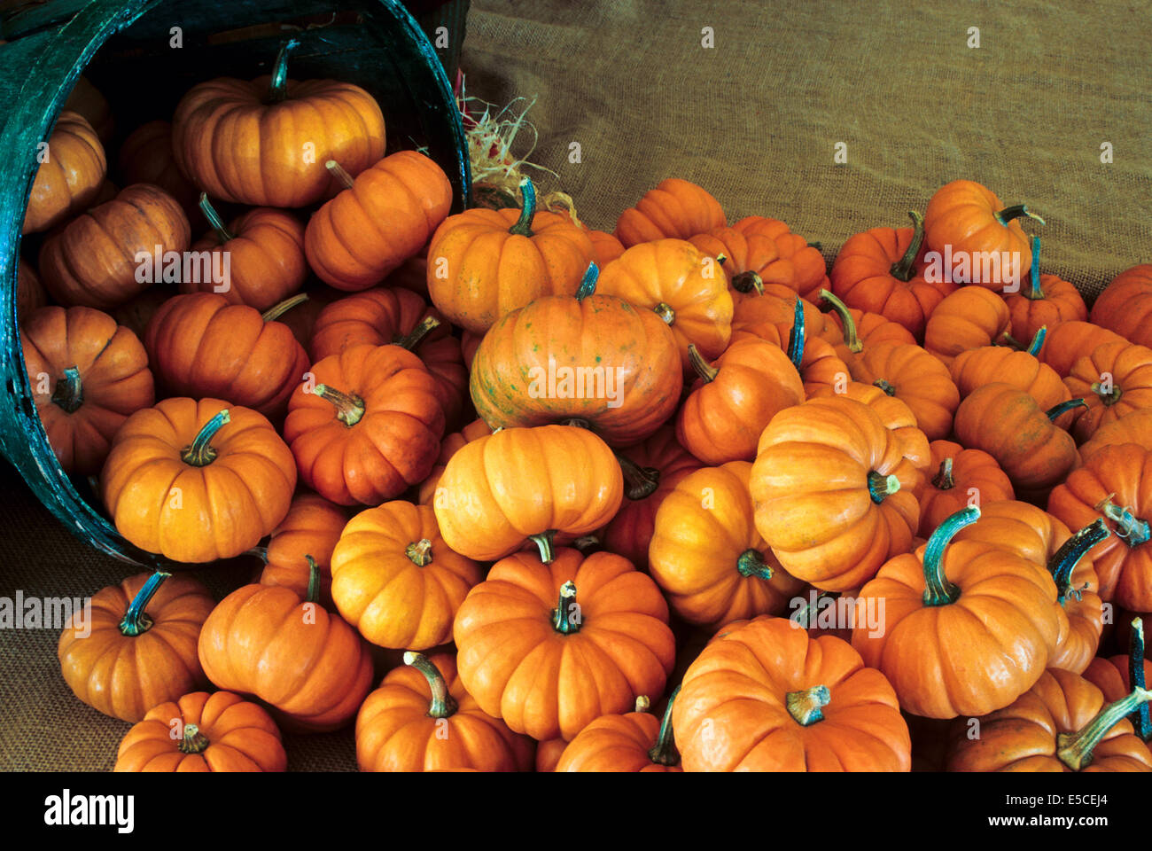 Harvest basket full of orange mini fall pumpkins close up on a farm in Lancaster County, Pennsylvania, USA - Stock Image