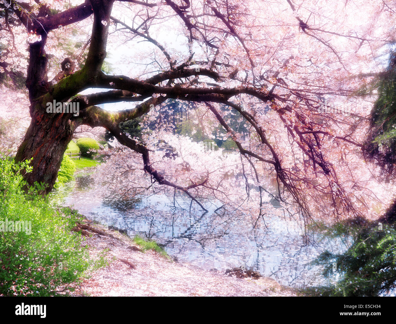 Blossoming cherry tree branches touching water with artistic light bloom effect. Shinjuku Gyoen National Garden in Tokyo, Japan. Stock Photo
