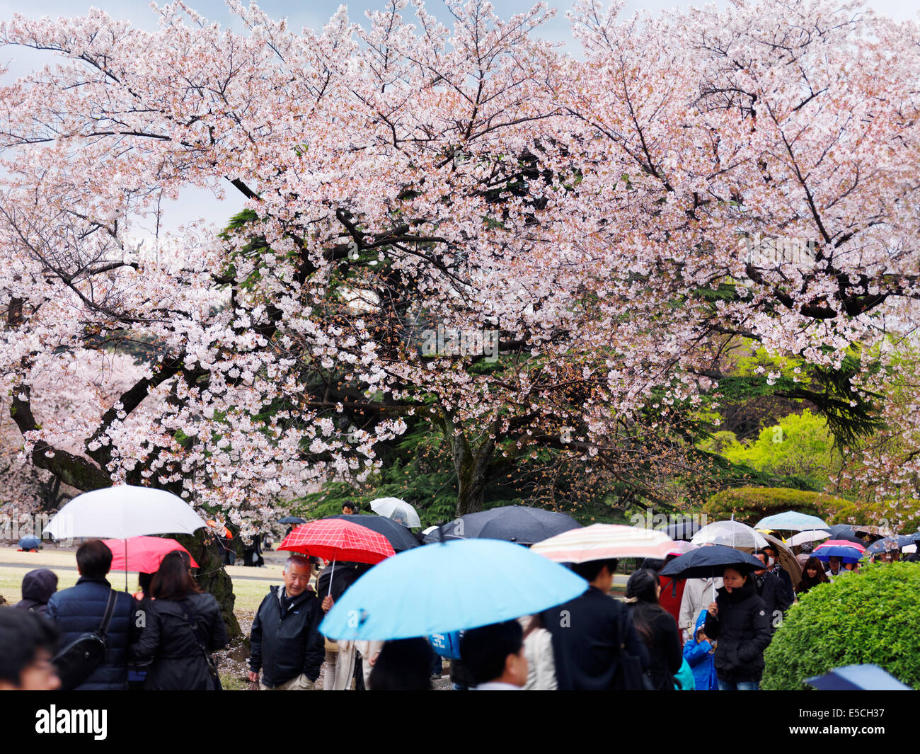 People with colorful umbrellas under a rain during cherry blossom at Shinjuku Gyoen National Garden in Tokyo, Japan. - Stock Image