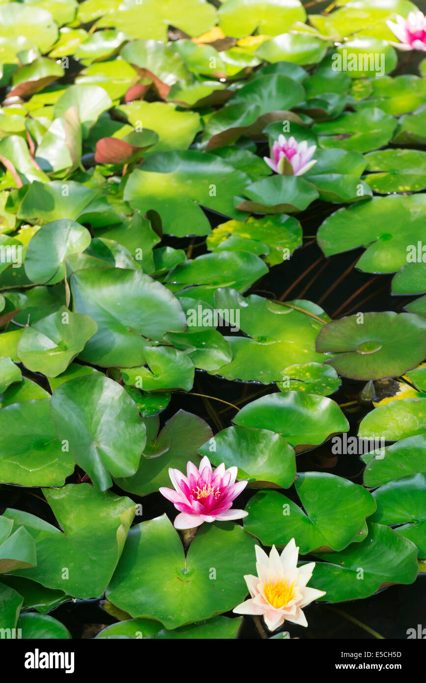 Flowering water lilies in a pond - Stock Image