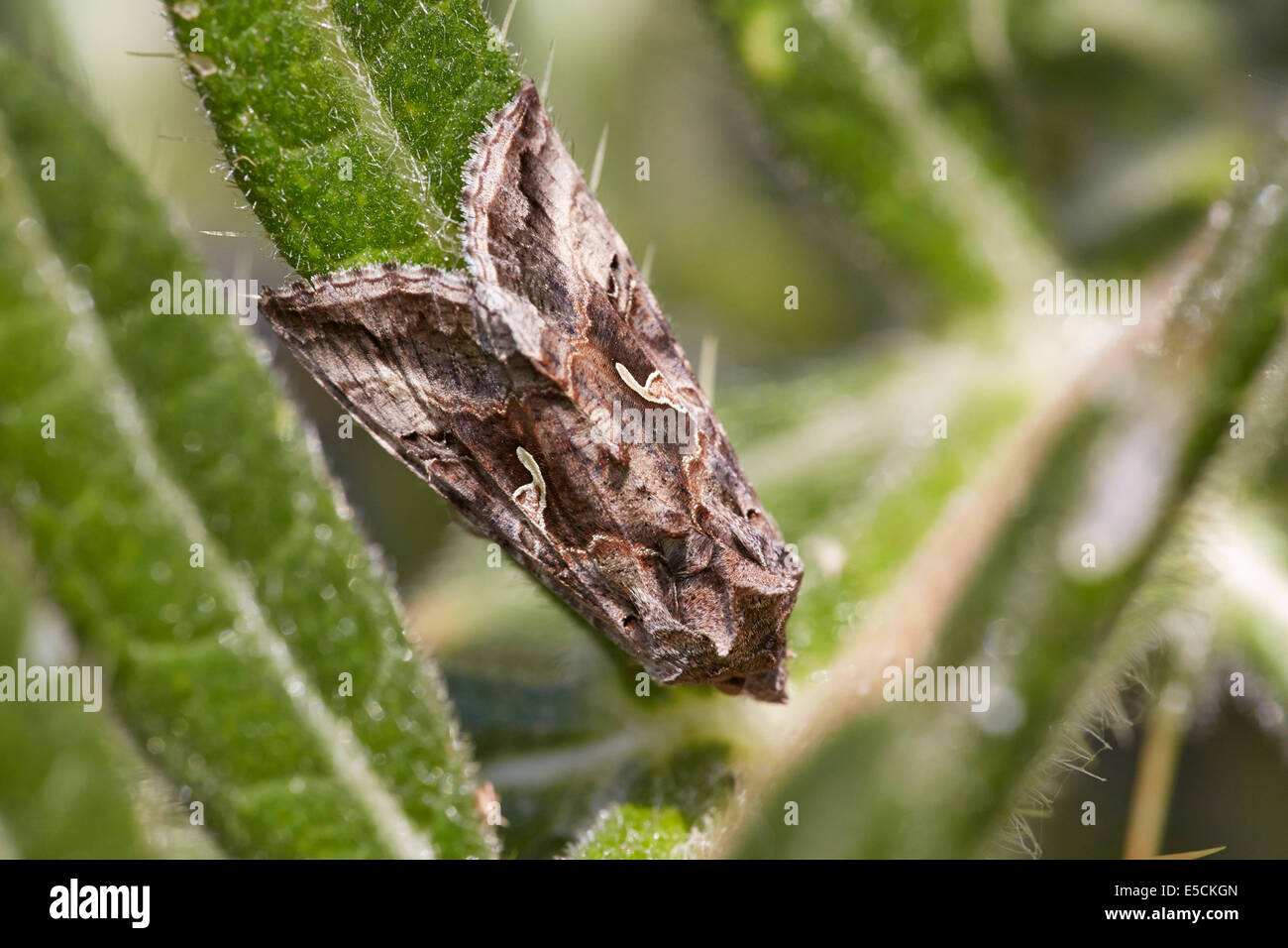 Silver Y Moth Stock Photos & Silver Y Moth Stock Images - Alamy