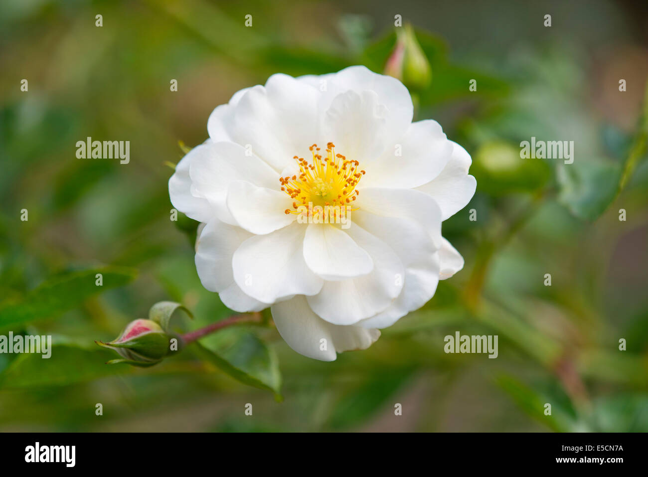 Rose (Rosa spp.), white blossom, Lower Saxony, Germany - Stock Image