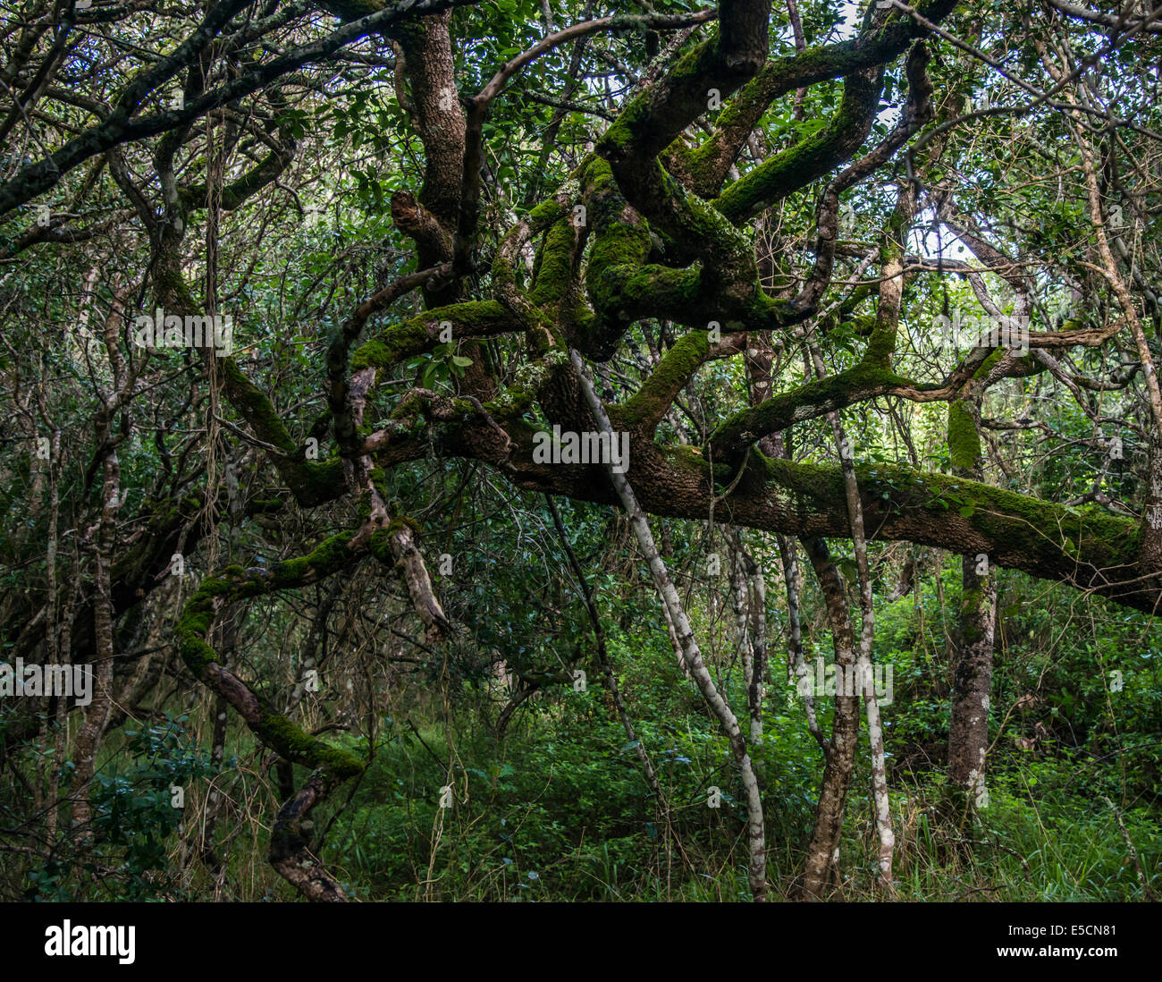 Milkwood Forest, Grootbos, Gansbay, Western Cape, South Africa - Stock Image