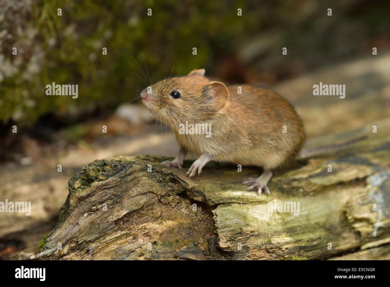 Bank vole (Myodes glareolus), Croatia - Stock Image