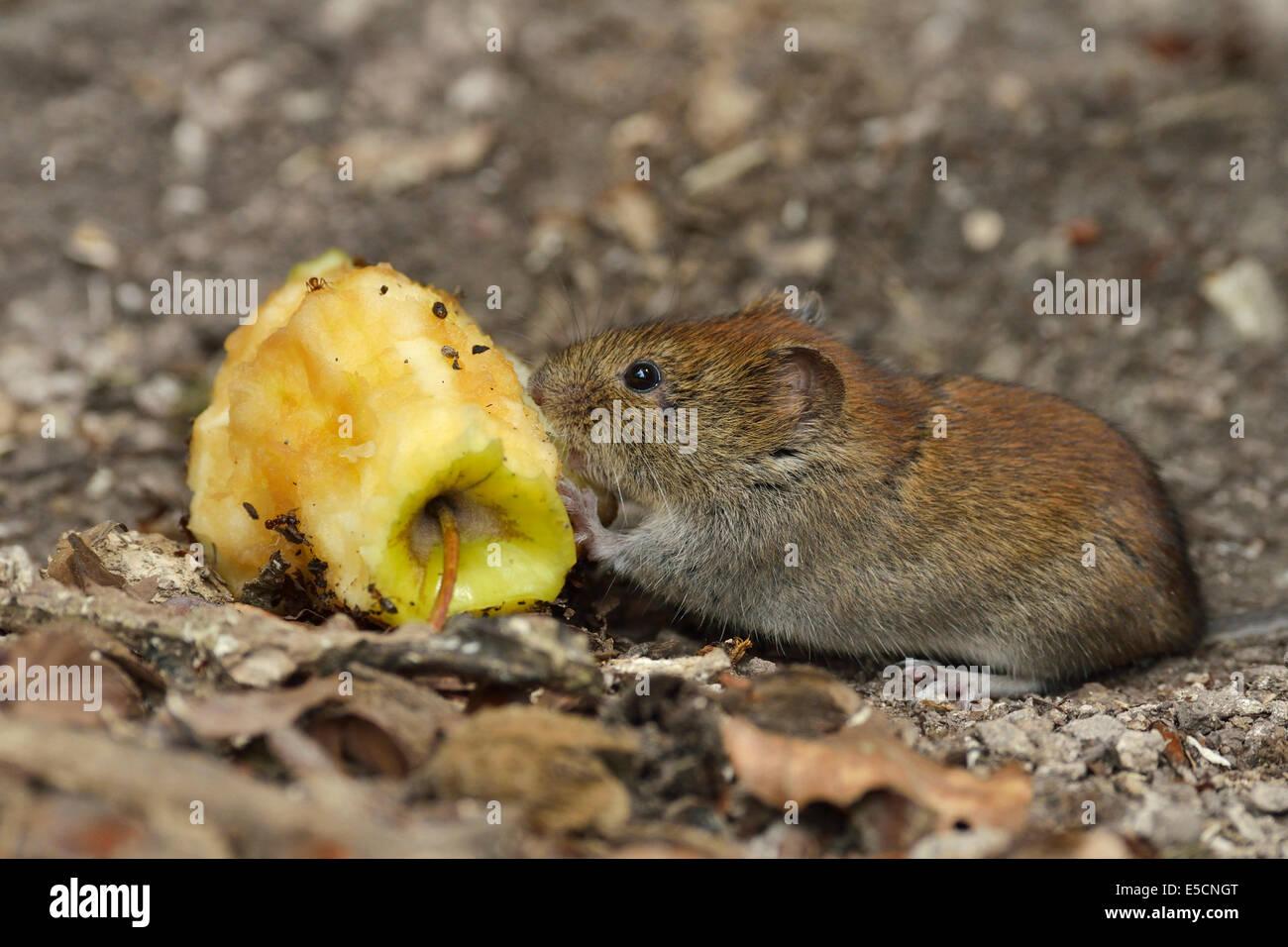 Bank vole (Myodes glareolus) eating an apple cores, Croatia Stock Photo