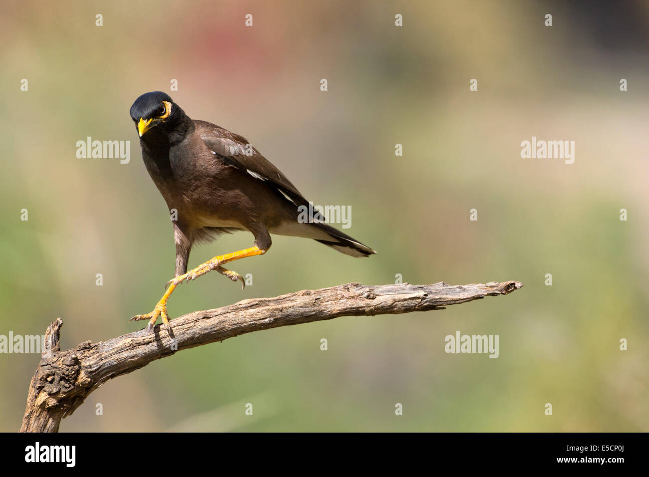 Common myna (or Indian Myna Acridotheres tristis). This bird is native to southern Asia from Afghanistan to Sri - Stock Image
