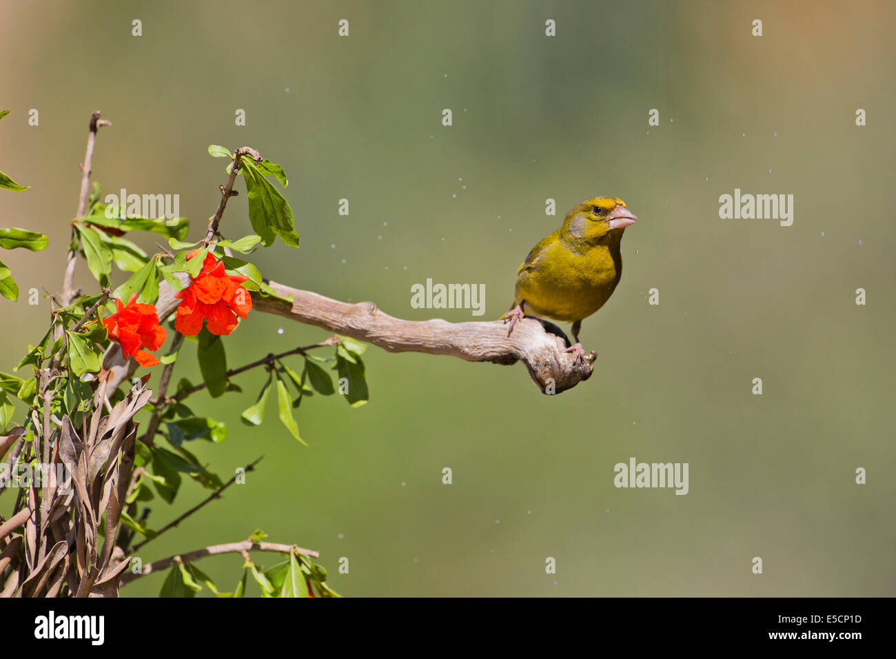 European Greenfinch (Carduelis chloris)  a small passerine bird in the finch family Fringillidae. Photographed near - Stock Image