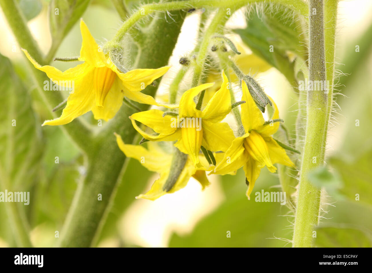 Tomato plant yellow flowers before germination moneymaker variety tomato plant yellow flowers before germination moneymaker variety mightylinksfo Choice Image