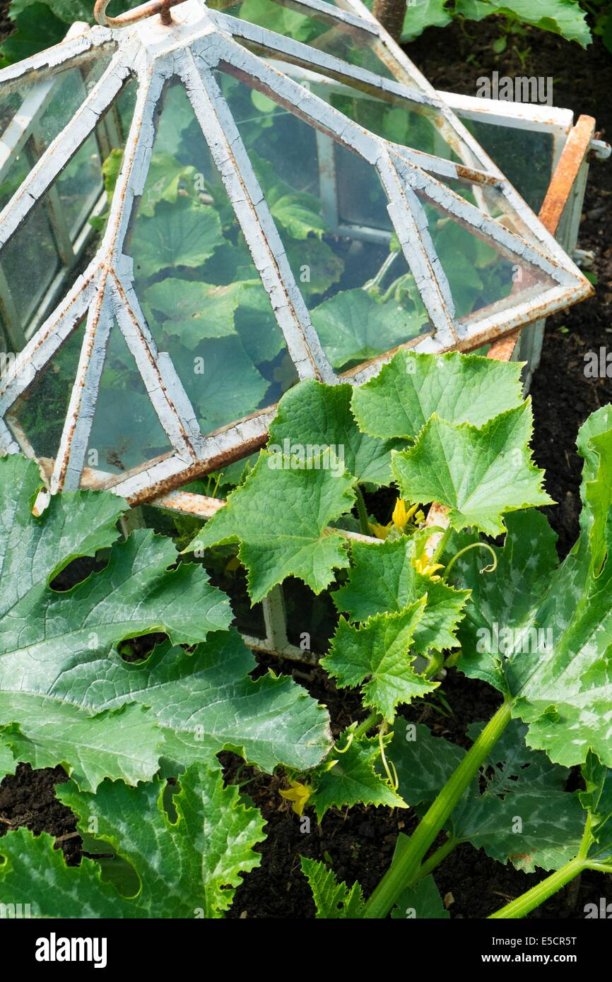 View of small raised bed crops including, courgettes and outdoor cucumber in antique cloche, England July. - Stock Image