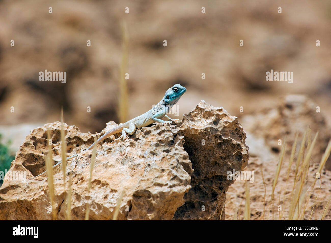 Sinai agama (Pseudotrapelus sinaitus, formerly Agama sinaita) basking on a rock. Photographed in Israel in May - Stock Image
