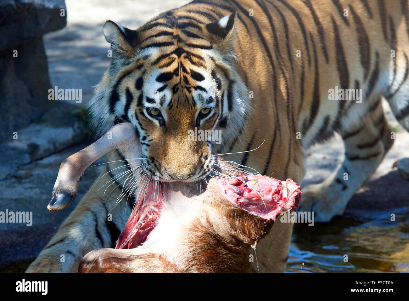 A Siberian Tiger with animal carcass in mouth - Stock Image