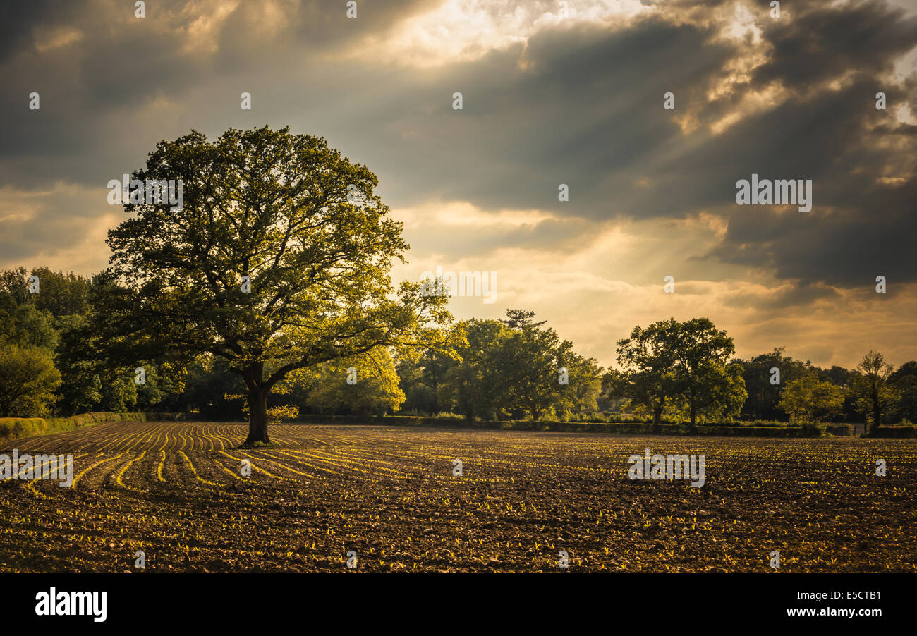 Light shines of the righteous - Sun rays shine through the clouds to light up a large single tree - Stock Image