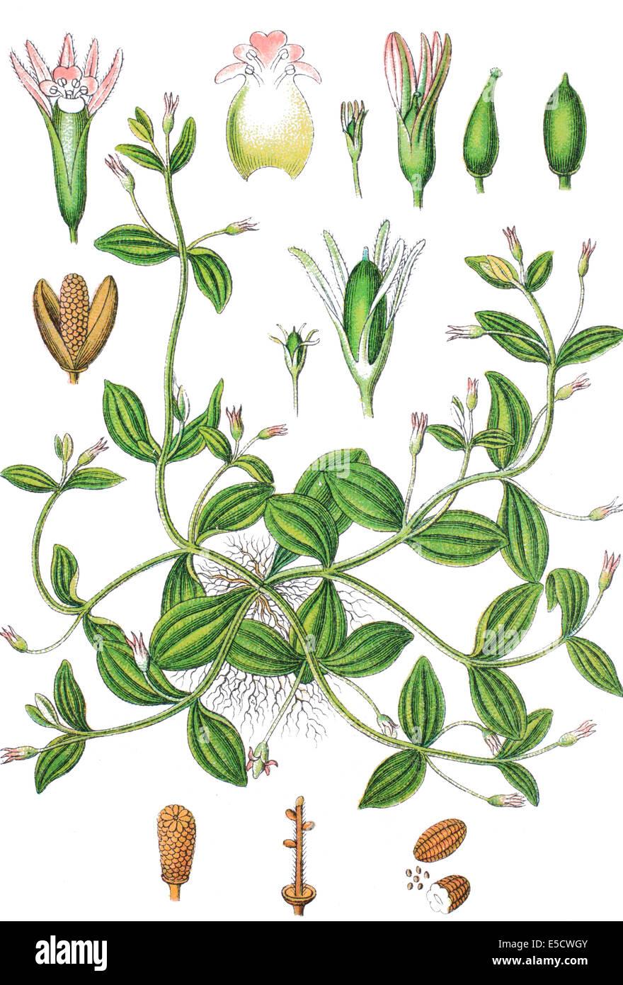 prostrate false pimpernel, Lindernia procumbens - Stock Image