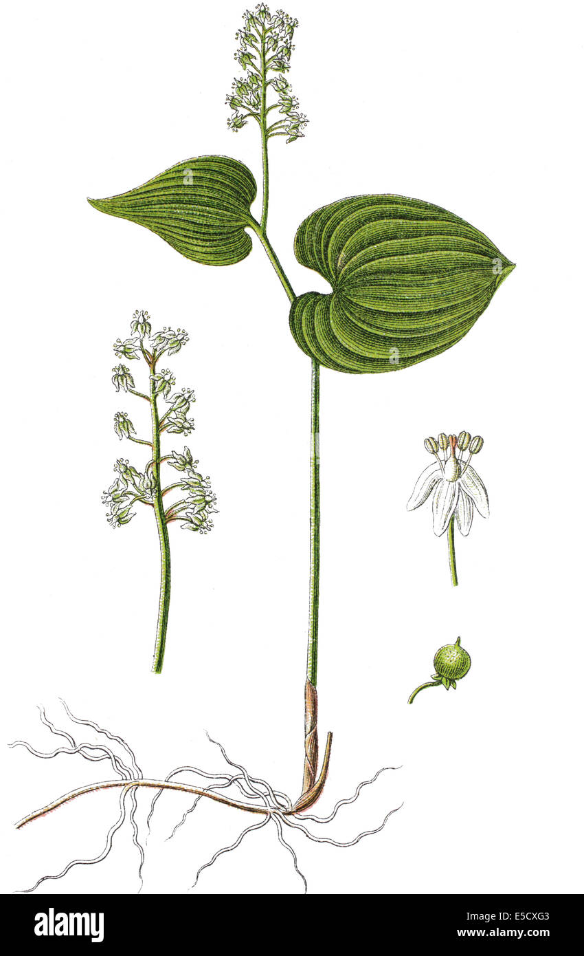 False lily of the valley or May lily, Maianthemum bifolium - Stock Image