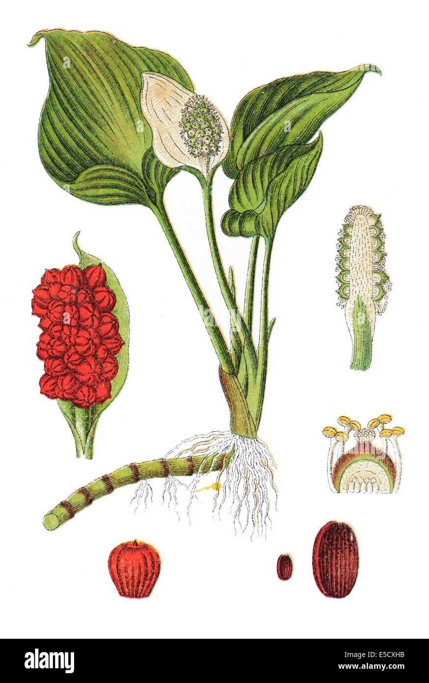 Calla palustris, Bog Arum, Marsh Calla, Wild Calla, and Water-arum - Stock Image