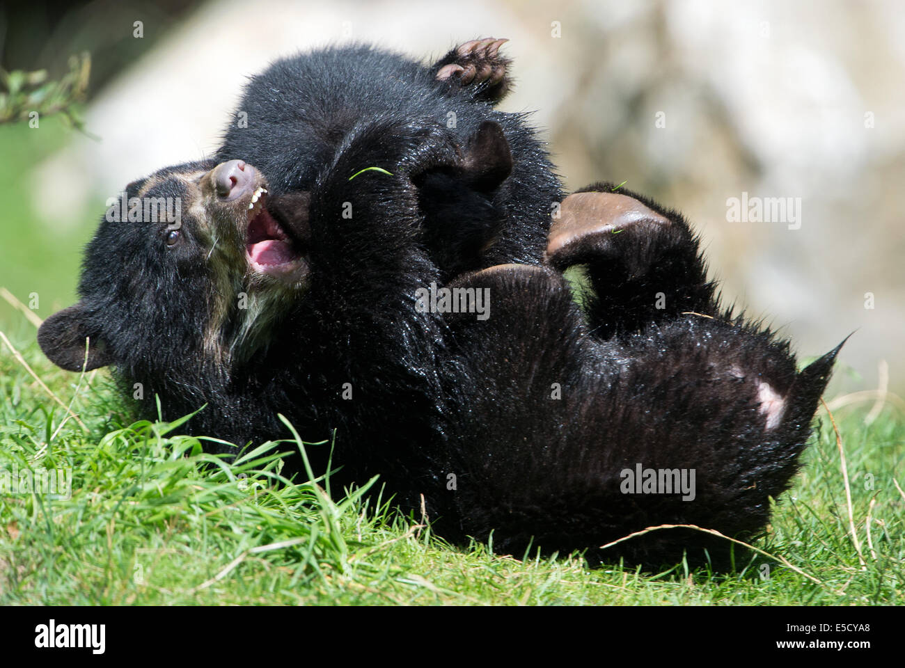 Two little Andean bears during a siblings fight in the zoo in Frankfurt/Main, Germany, 28 July 2014. The young bears Stock Photo