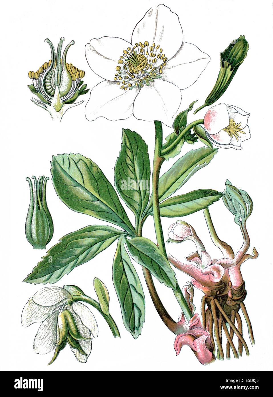 Christmas rose or black hellebore, Helleborus niger Stock Photo