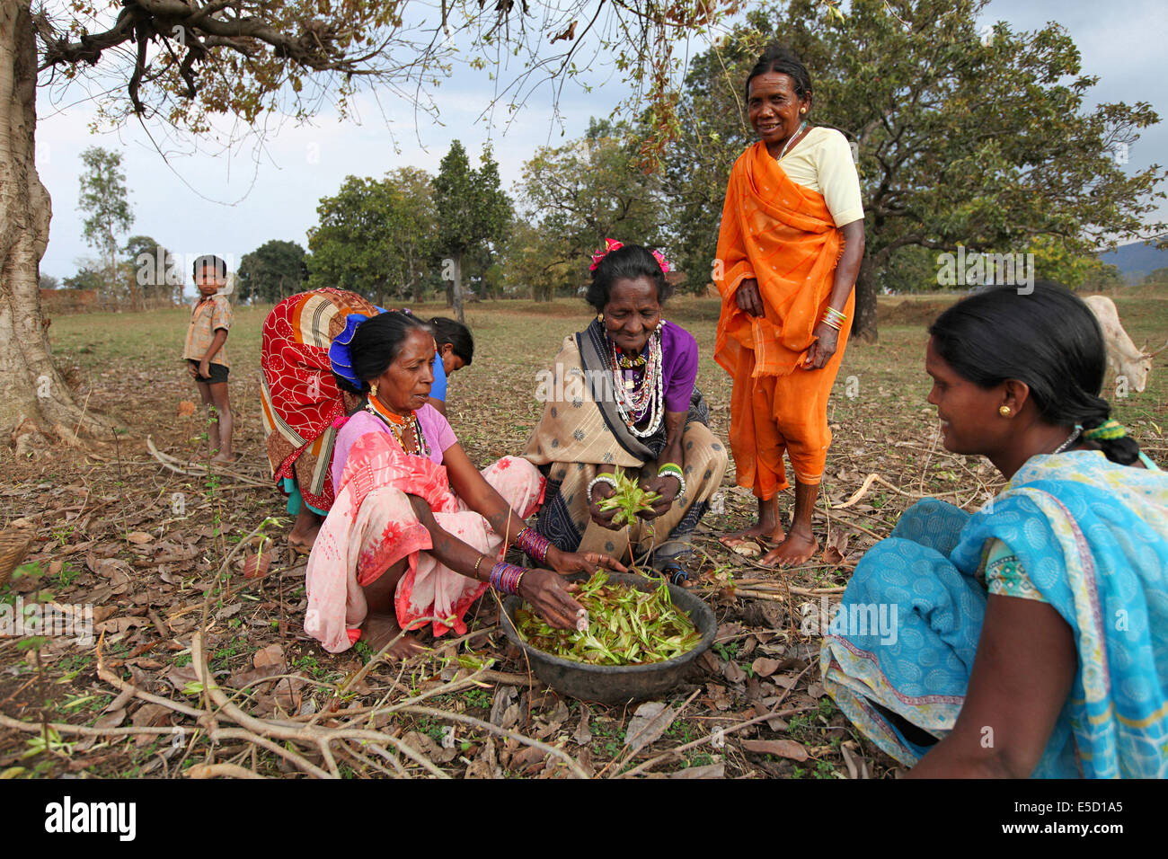 Tribal women collecting leaves in the forest, Baiga tribe, Karangra Village, Chattisgadh, India - Stock Image