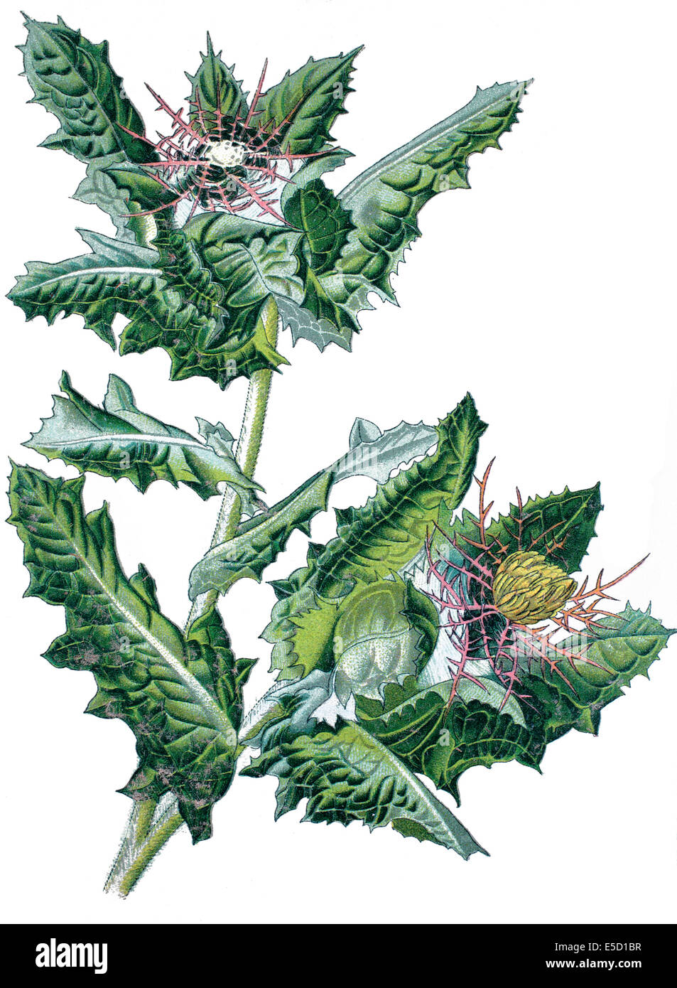 St. Benedict's thistle, blessed thistle, holy thistle or spotted thistle, Cnicus benedictus - Stock Image