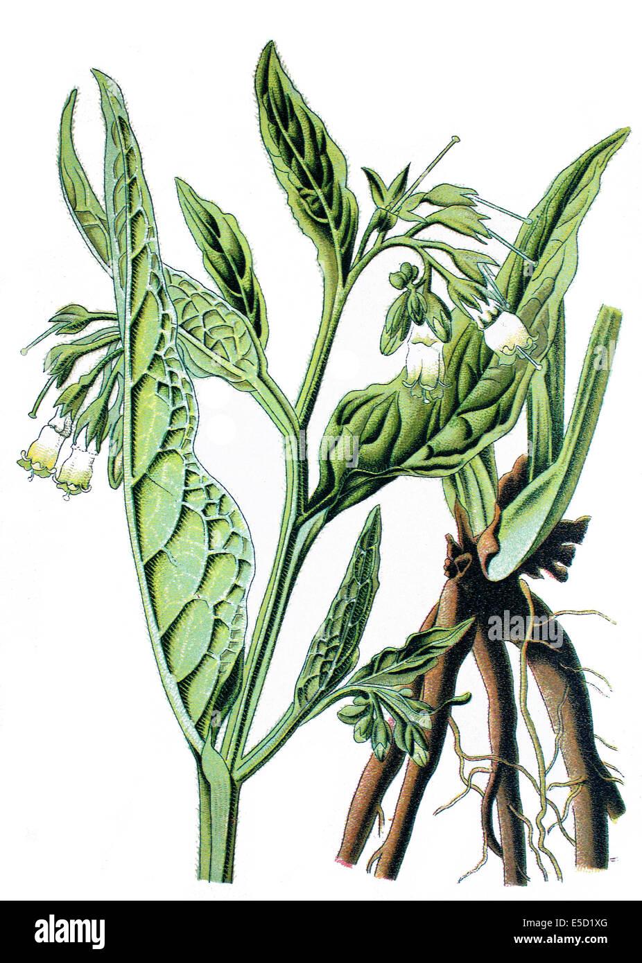 common comfrey or true comfrey, Quaker comfrey, cultivated comfrey, boneset, knitbone, consound, and slippery-root, - Stock Image