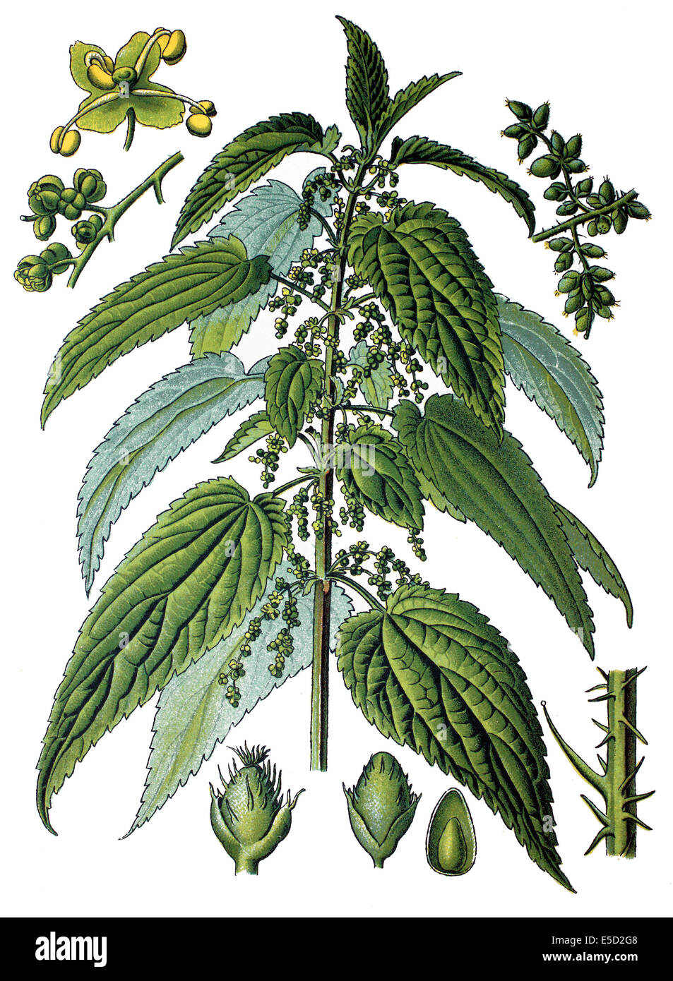Urtica dioica, often called common nettle or stinging nettle - Stock Image