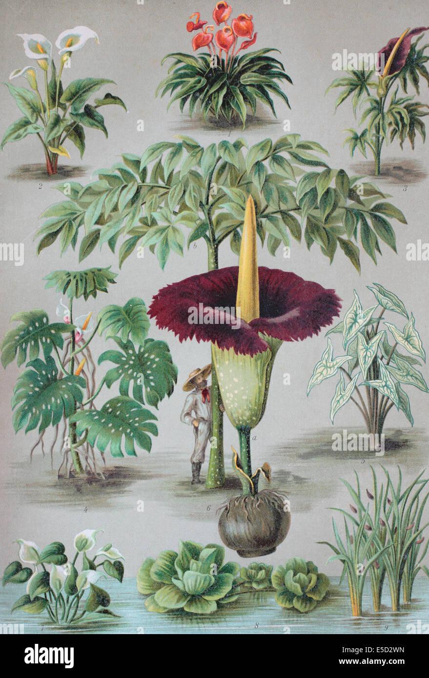 Araceae or the Arum family, 1. Anthurium, 2. Zantedeschia, 3. Dracunculus, 4. Monstera, 5. Caladium, 6. Amorphophallus, - Stock Image