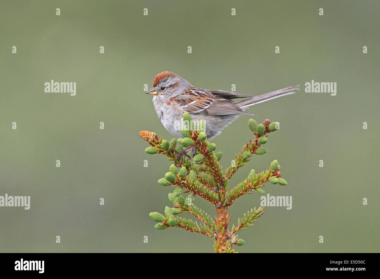 American Tree Sparrow in breeding plumage perched on top of a small conifer - Stock Image