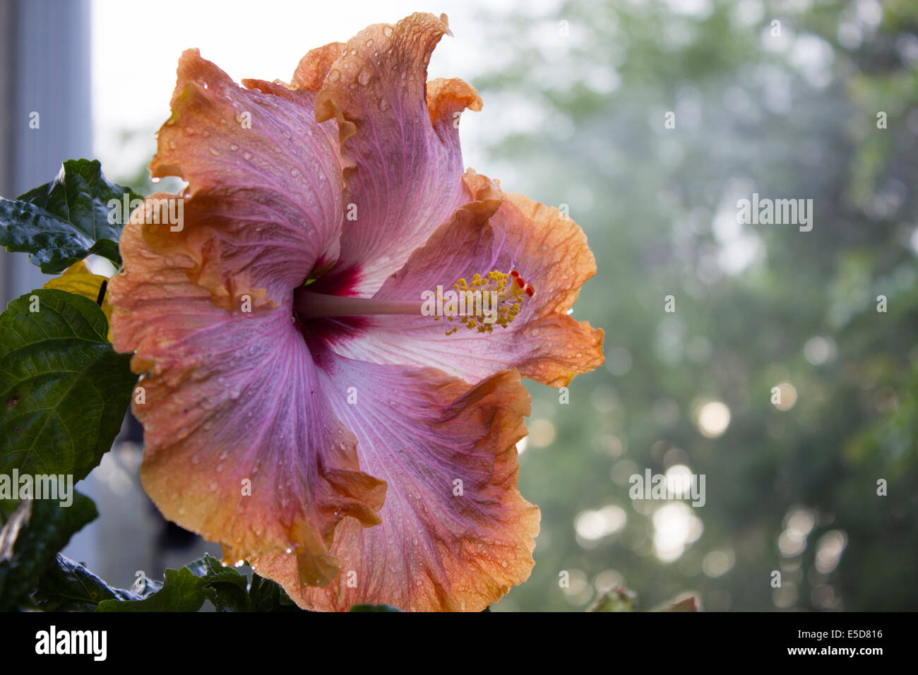With Hibiscus Flower Extract Stock Photos With Hibiscus Flower