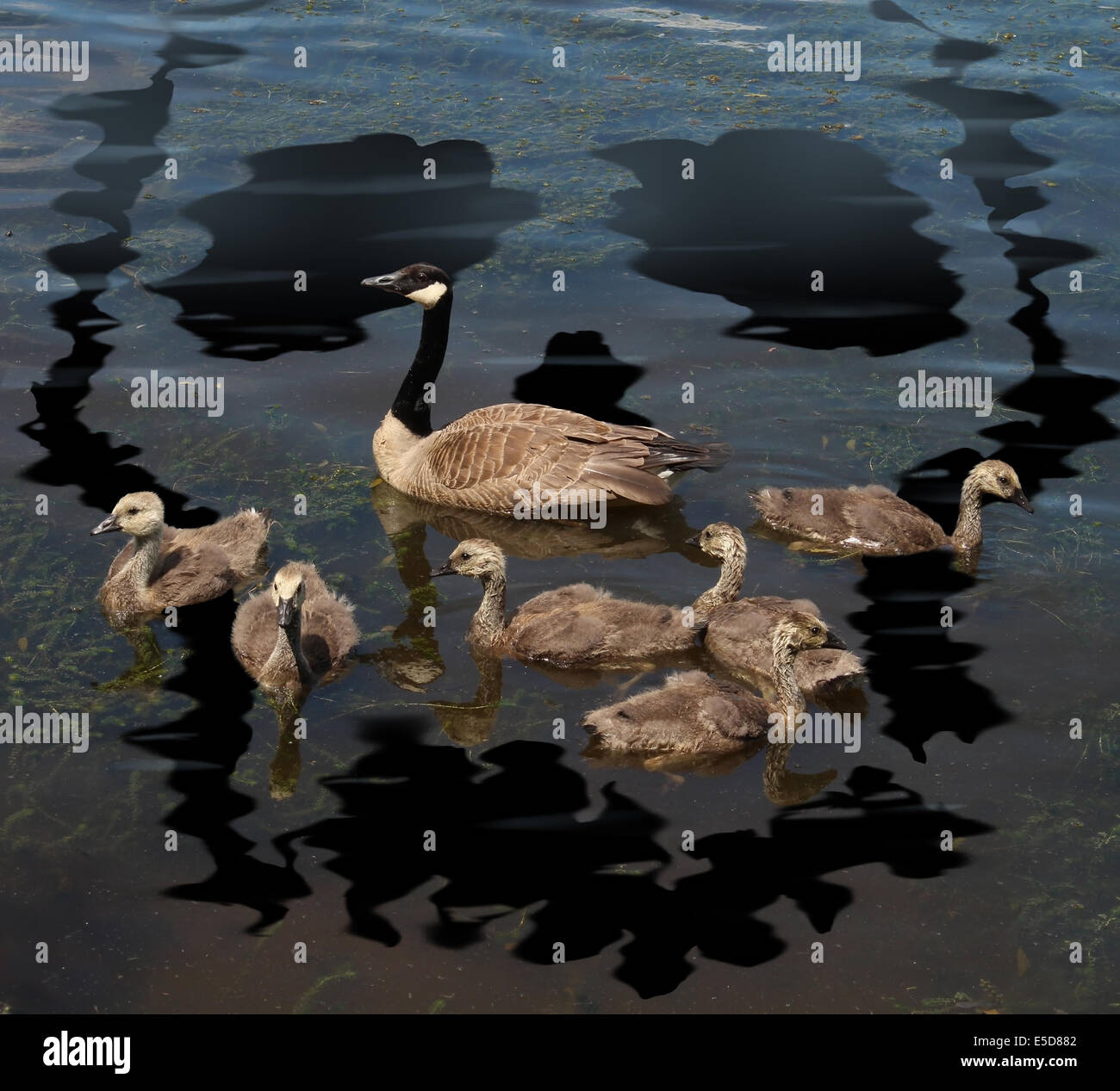 Wildlife danger and animal conservation concept as a young family of canada geese on a lake polluted from a toxic - Stock Image