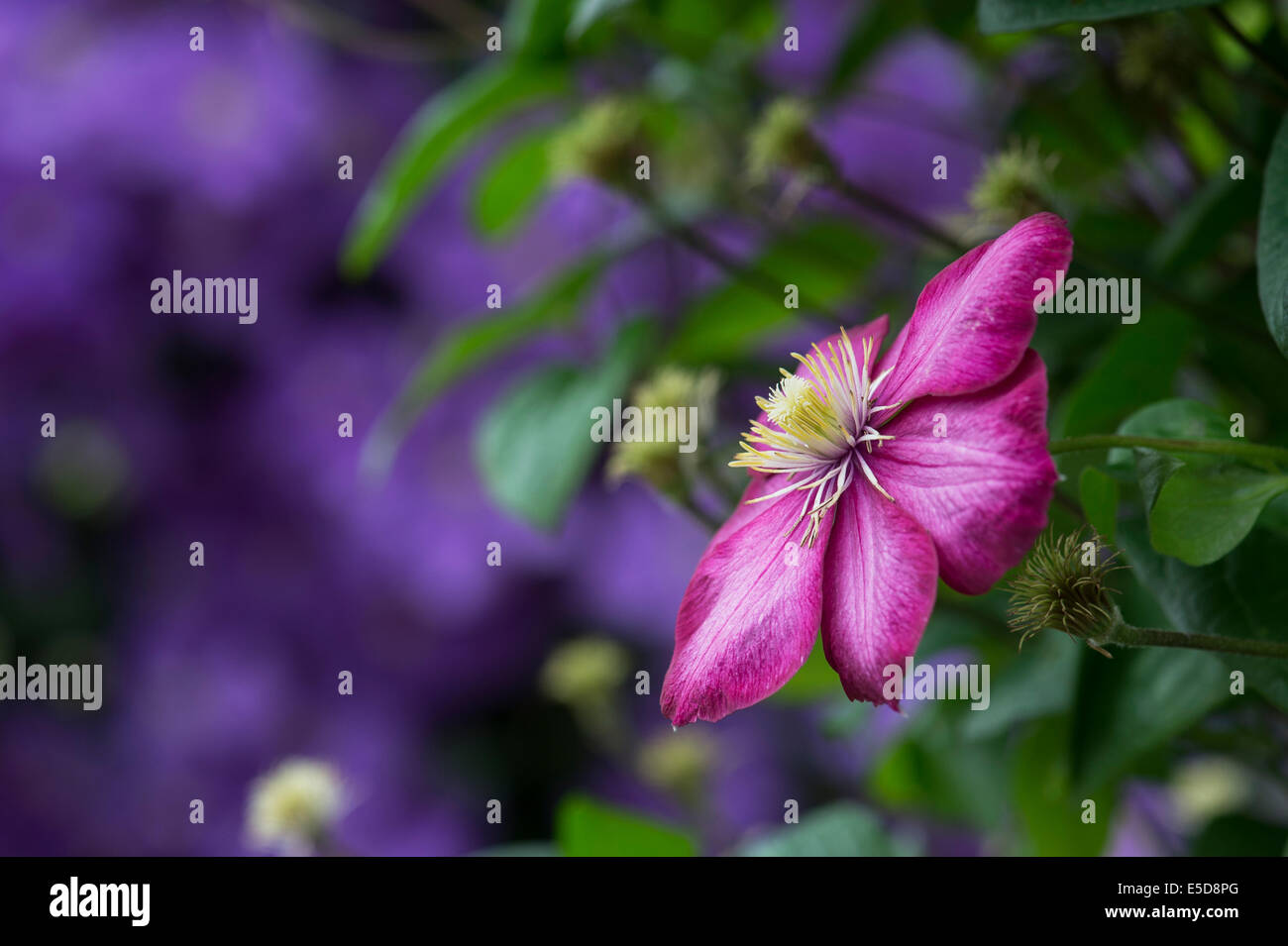 Clematis 'Ville de Lyon' Flower. Late Large-flowered Clematis - Stock Image