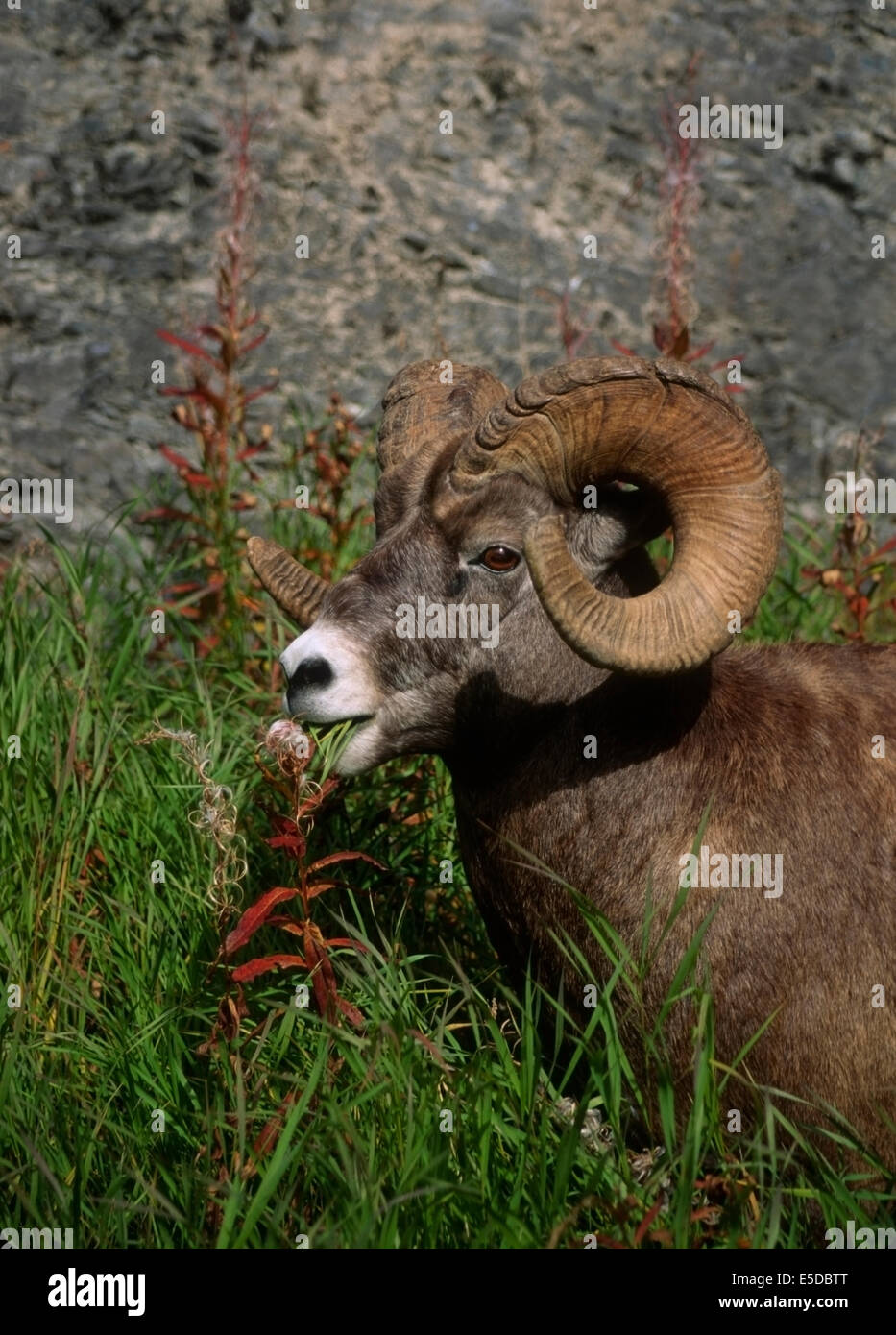 Big Horn Ram (Orvis canadensis) grazing on grasses Baniff National Park, Alberta Canada - Stock Image