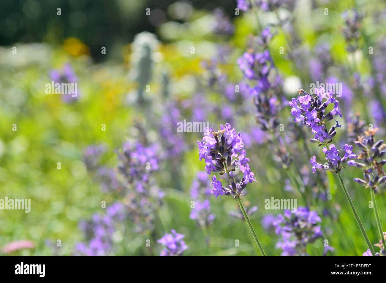 Close-up of blooming lavender flower in a bee friendly garden. Shallow depth of field. Stock Photo