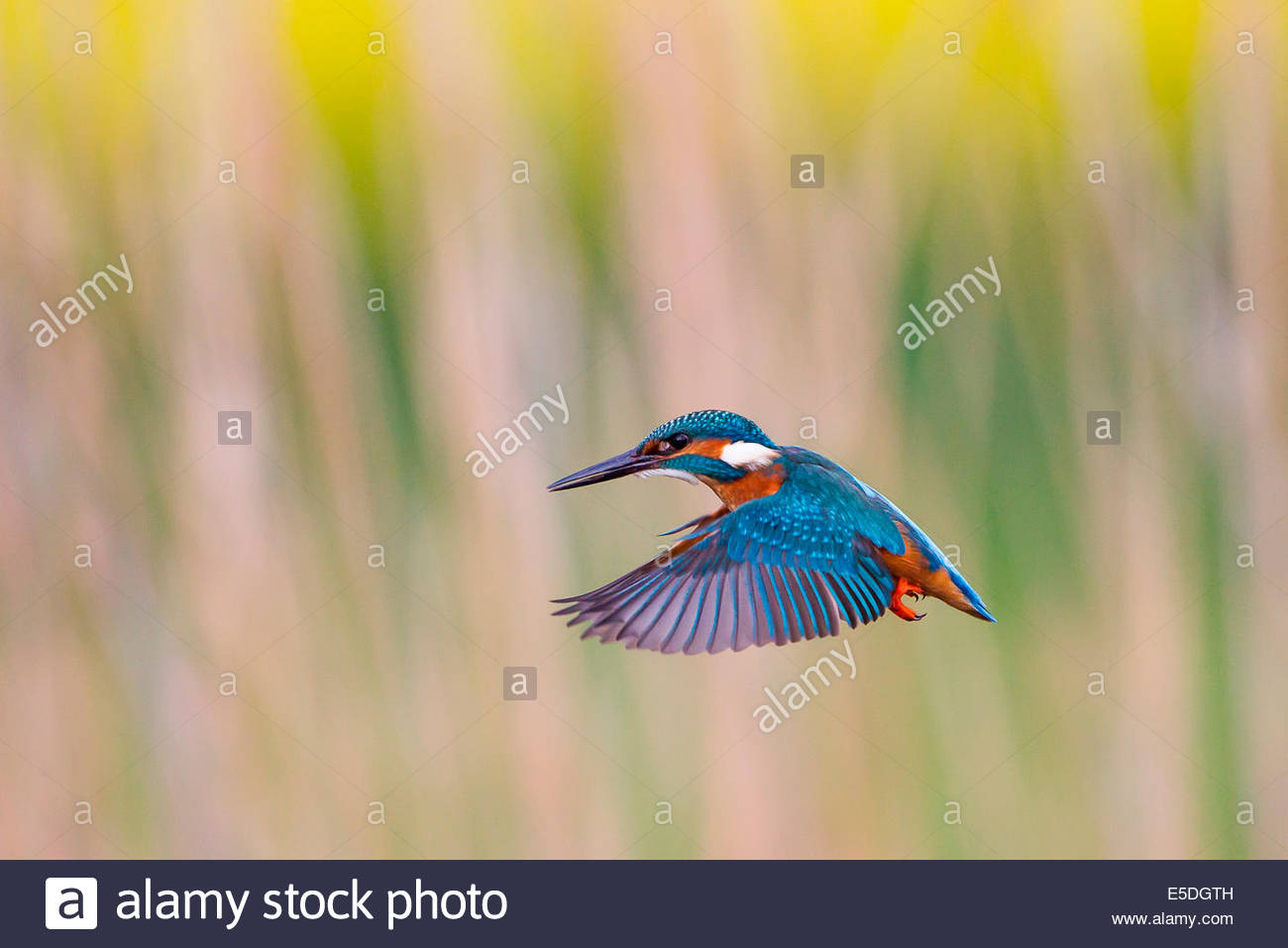 Kingfisher (Alcedo atthis) in stationary flight, North Hesse, Hesse, Germany - Stock Image
