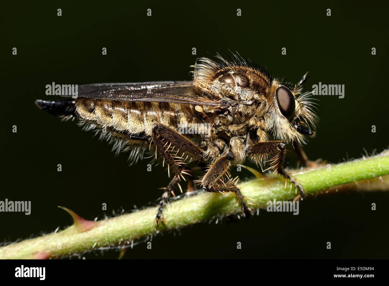 Common Awl Robberfly, Neoitamus cyanurus, sitting on stem in front of black background - Stock Image
