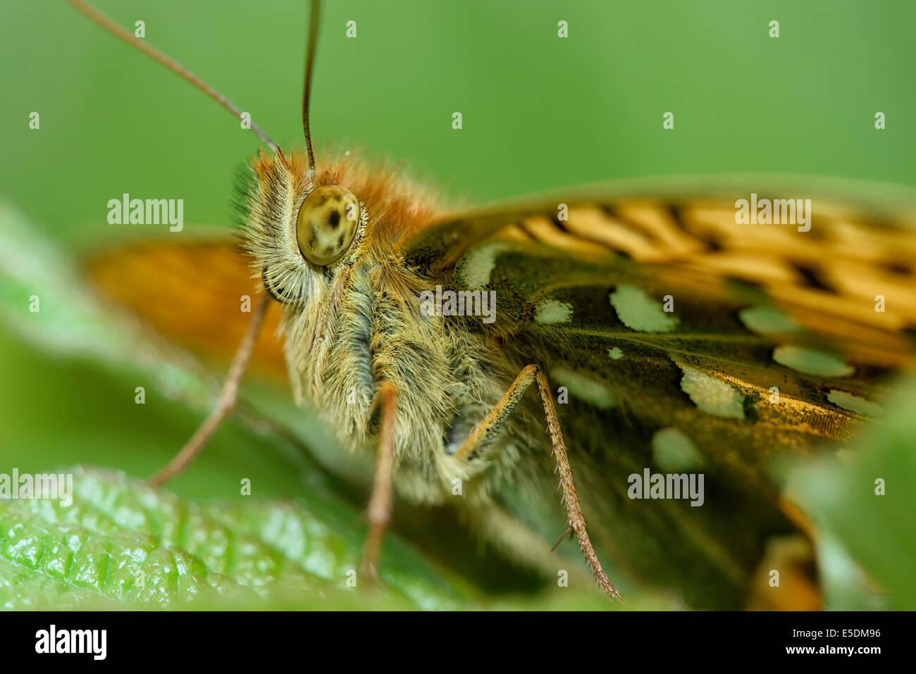 Dark Green Fritillary, Argynnis aglaja, sitting on leaf - Stock Image