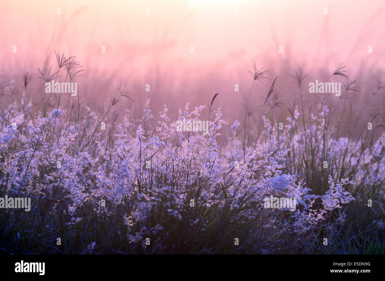 Common roadside plant covered in fog and back lit by the sun at sunrise. - Stock Image